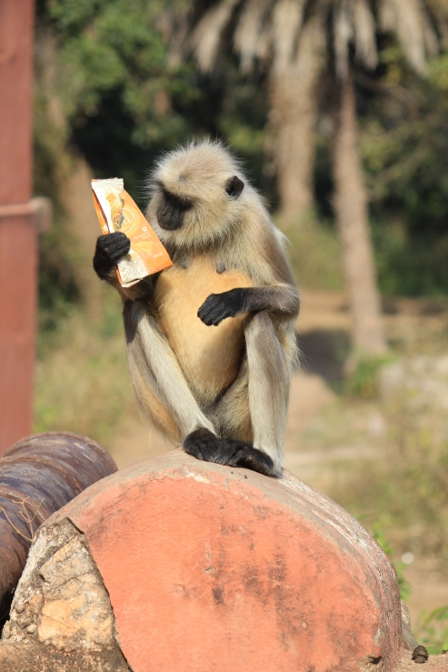 This monkey seemed to be checking the map for the tiger location too. Perhaps for a different reason...