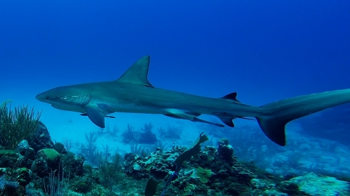 Reef shark 1ed