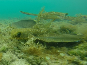 Flying gurnard 4ed