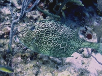 Honeycomb Cowfish - Cayman Braced