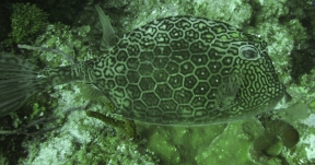 Honeycomb Cowfish - Little Caymaned
