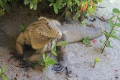 Sister Island Iguana