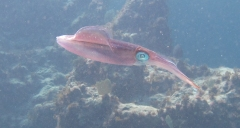 Caribbean Reef Squid - LCed
