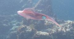 Caribbean Reef Squid - LCed