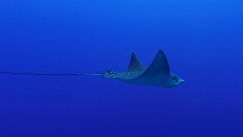 Eagle Ray 2ed