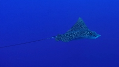 Eagle Ray 3ed