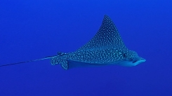 Eagle Ray 4ed
