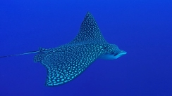 Eagle Ray 5ed
