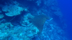 Eagle Ray 6ed