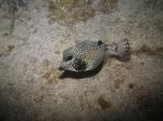 Trunkfish IMG_1160 –Macabuca
